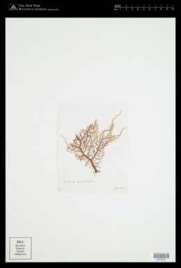 Meristotheca gelidium image