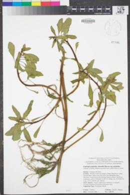 Image of Ludwigia peploides