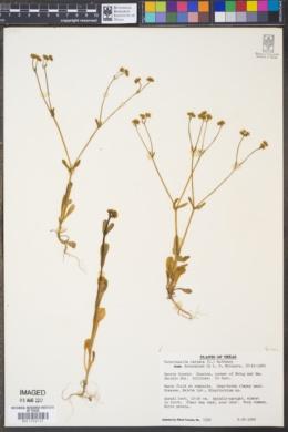 Valerianella radiata image