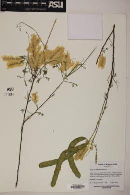Acacia willardiana image