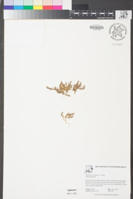 Monolepis spathulata image