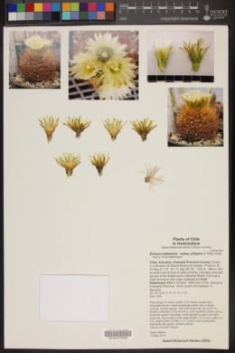 Eriosyce taltalensis subsp. pilispina image