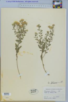 Heterotheca villosa var. foliosa image