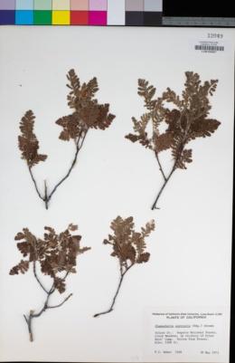 Image of Chamaebatia australis