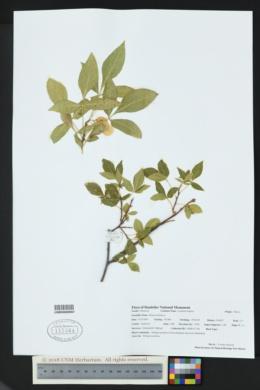 Ptelea trifoliata image