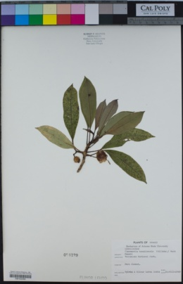 Image of Clermontia hawaiiensis
