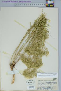 Lepidium alyssoides var. eastwoodiae image