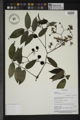 Image of Solanum juglandifolium
