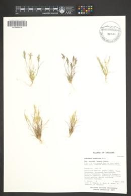 Schismus arabicus image