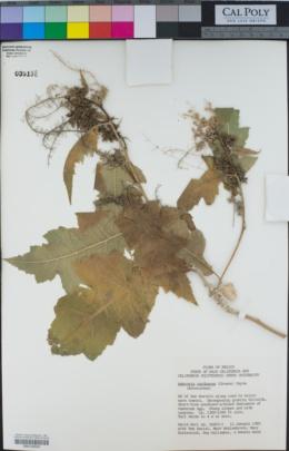 Ambrosia carduacea image
