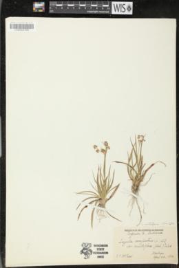 Luzula multiflora image