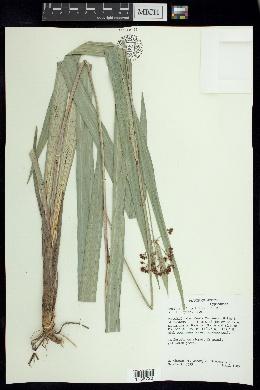 Hypolytrum longifolium image