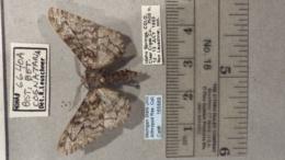 Biston betularia image