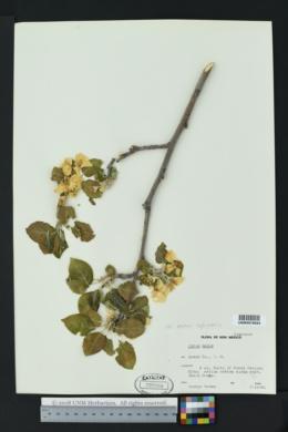 Malus sylvestris image