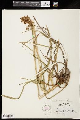 Scirpus pendulus image