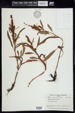 Rumex sibiricus image