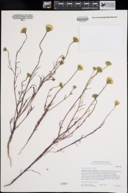 Chaenactis fremontii image