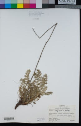 Image of Acaena pinnatifida