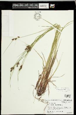 Carex caroliniana image
