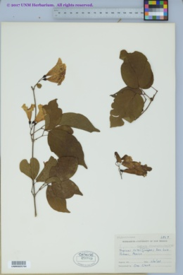 Image of Cydista diversifolia