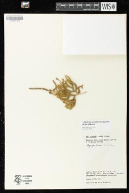 Image of Austrolycopodium fastigiatum