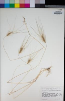 Elymus caput-medusae image