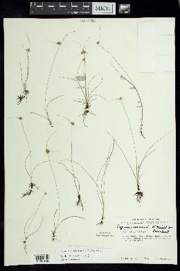 Image of Cyperus arsenei