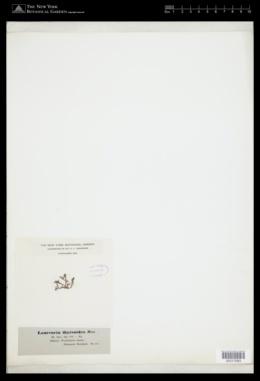Image of Laurencia thyrsoides