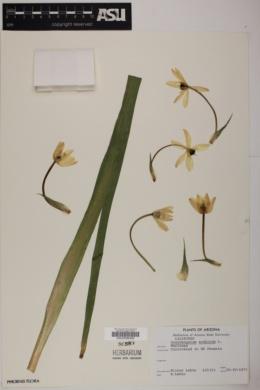 Ornithogalum arabicum image