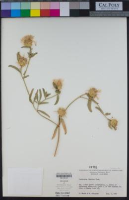 Image of Centaurea iberica