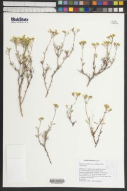 Eriogonum microthecum var. ambiguum image