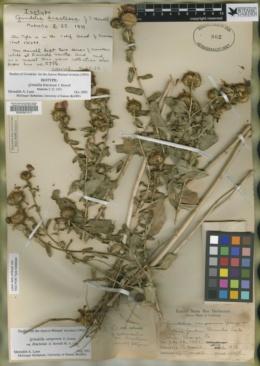 Image of Grindelia bracteosa