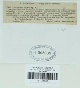 Pseudocercospora angraeci image
