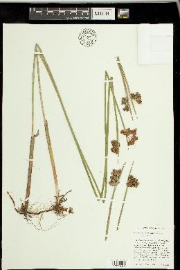 Image of Schoenoplectus triqueter