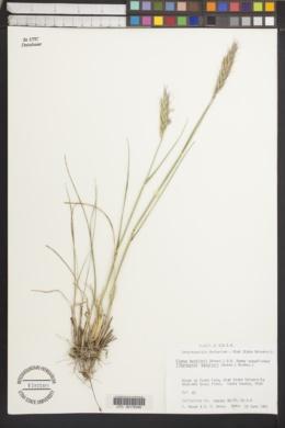 Image of Kengyilia batalinii