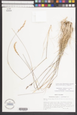Piptochaetium setosum image