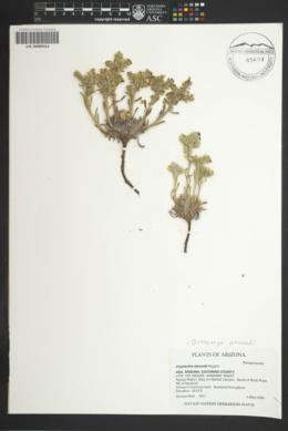 Oreocarya atwoodii image