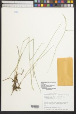 Pseudoroegneria tauri image