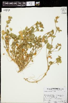 Trifolium phleoides image