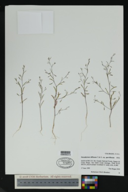 Gayophytum diffusum subsp. parviflorum image