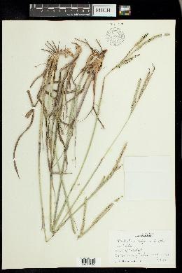 Image of Paspalum difforme