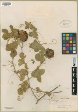 Passiflora arida image