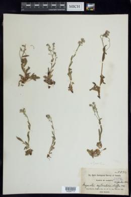 Myosotis alpestris image