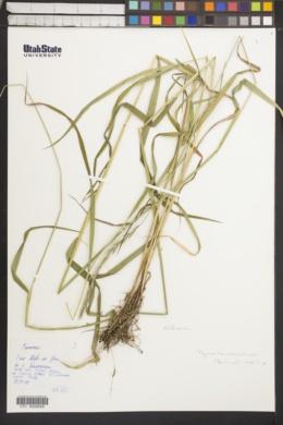 Image of Elymus transbaicalensis