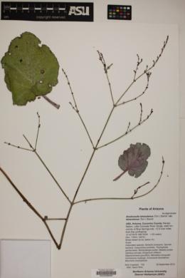 Anulocaulis leiosolenus var. leiosolenus image