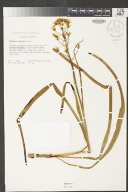 Toxicoscordion fontanum image