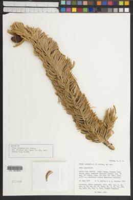 Pinus longaeva image