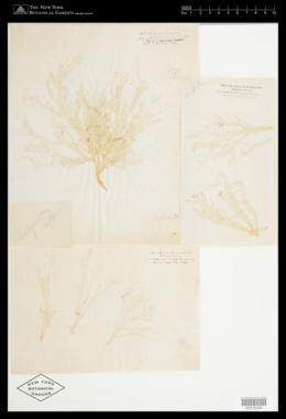 Halymenia microcarpa image