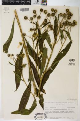 Verbesina alternifolia image