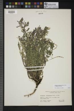 Astragalus lentiginosus var. palans image